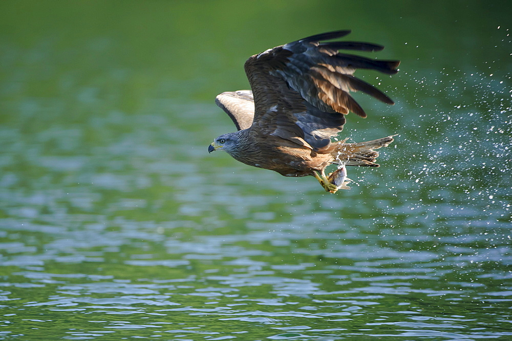 Black Kite, with seized fish, Mecklenburg-Western Pomerania, Germany / (Milvus migrans)