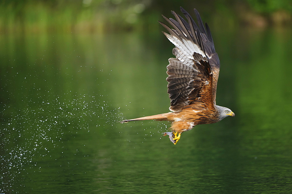Red Kite, with seized fish, Mecklenburg-Western Pomerania, Germany / (Milvus milvus) / side