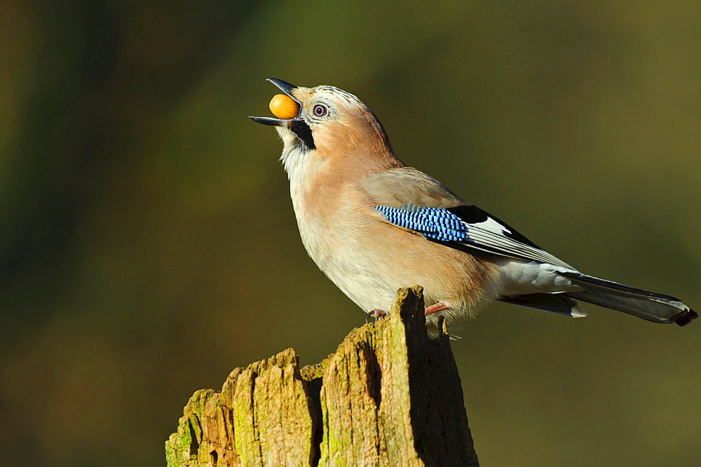 Jay with acorn, Lower Saxony, Germany / (Garrulus glandarius) / side