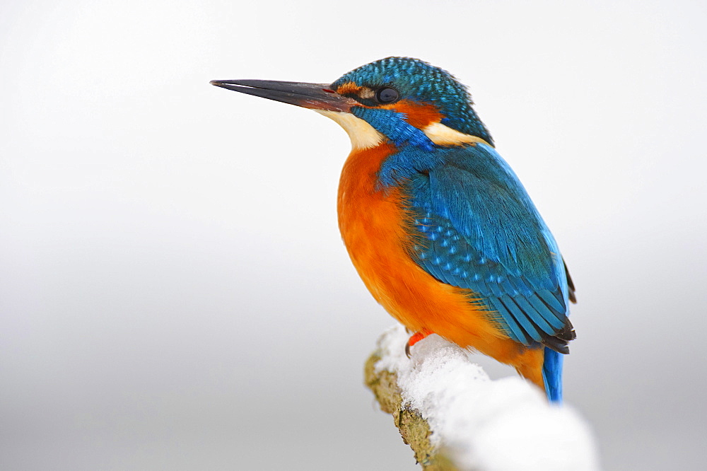 River Kingfisher, Lower Saxony, Germany / (Alcedo atthis) / side  - 1127-14593