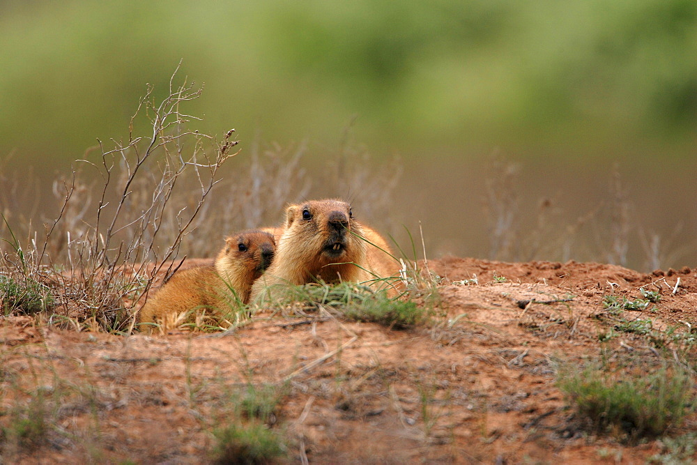 Steppe Marmots, female with young, Kazakhstan / (Marmota bobak)