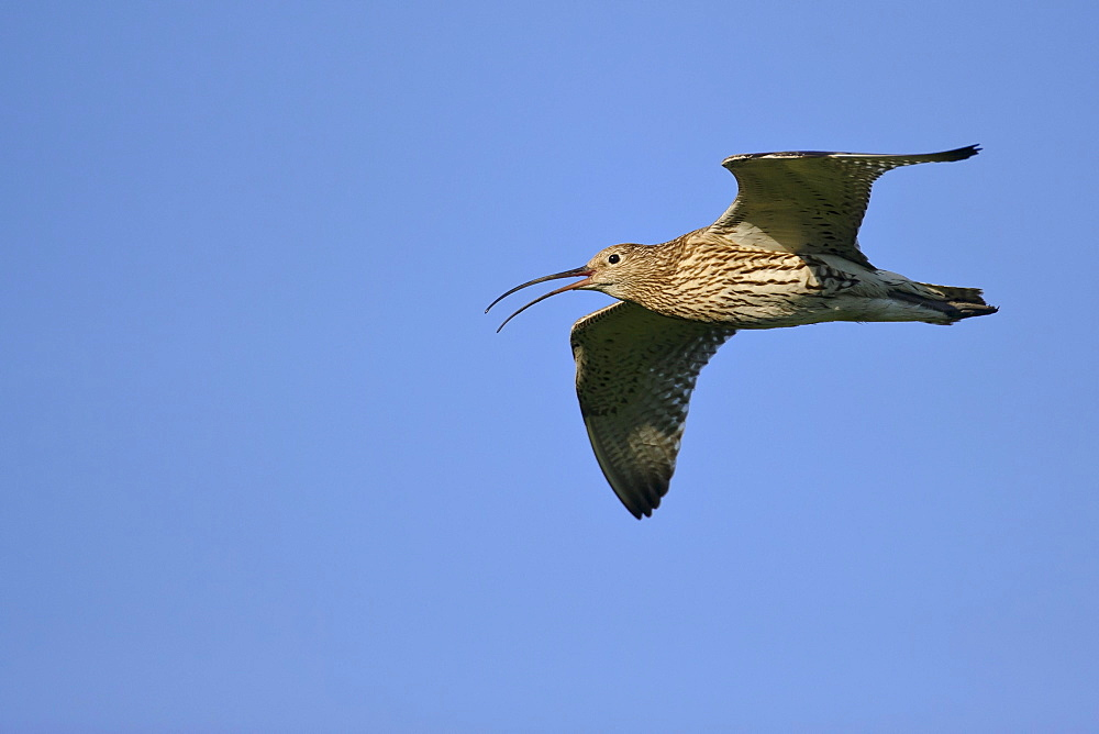 Curlew / (Numenius arquata)