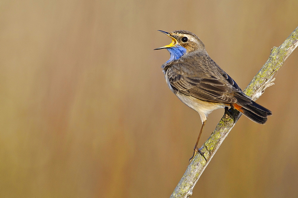 Bluethroat, male / (Luscinia svecica cyanecula)