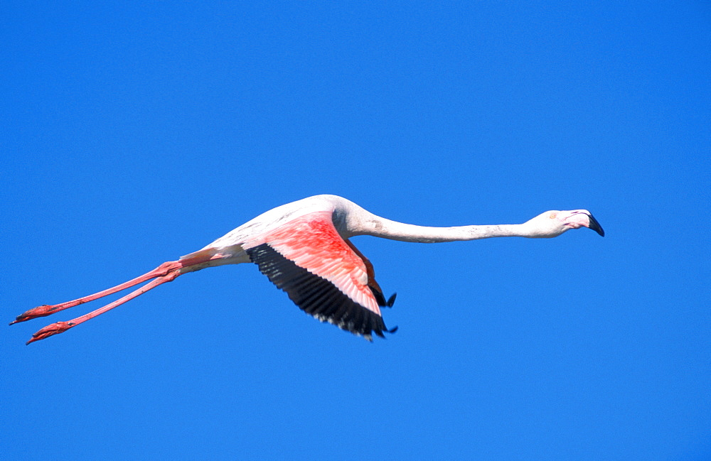 Greater Flamingo, Camargue, Southern France / (Phoenicopterus ruber roseus)