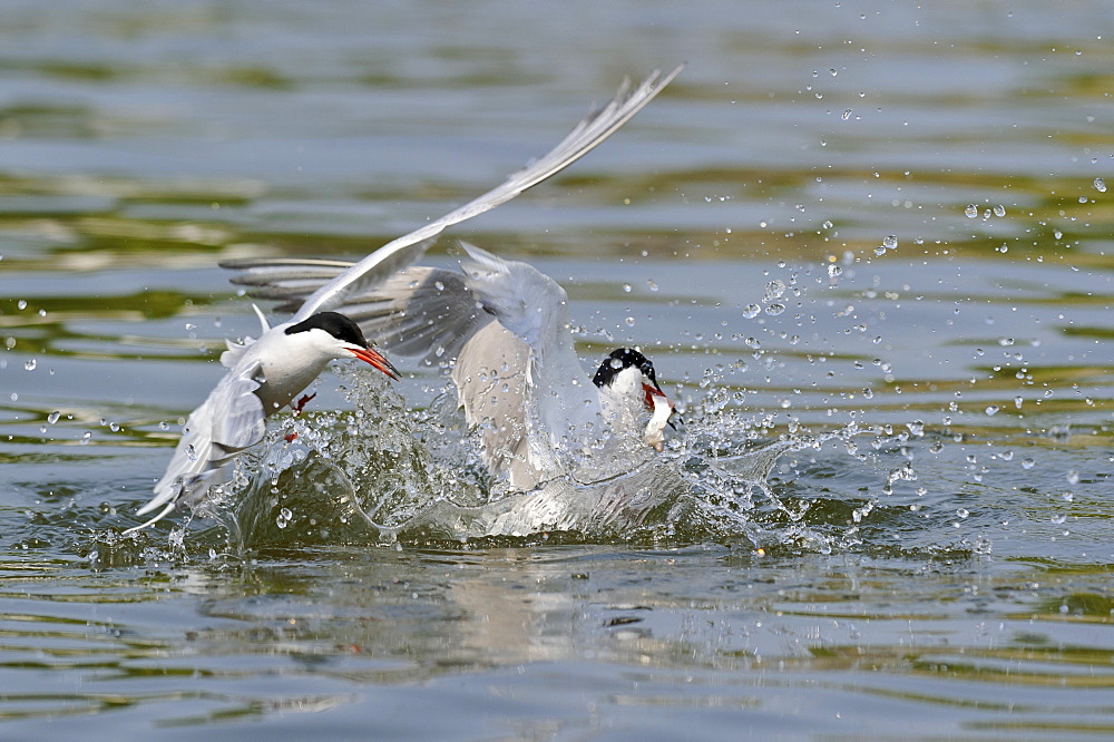 Common Terns / (Sterna hirundo)