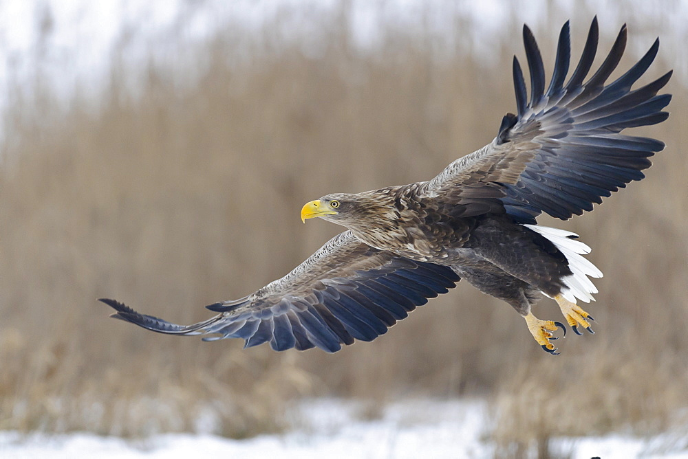 White-tailed Eagle / (Haliaeetus albicilla)