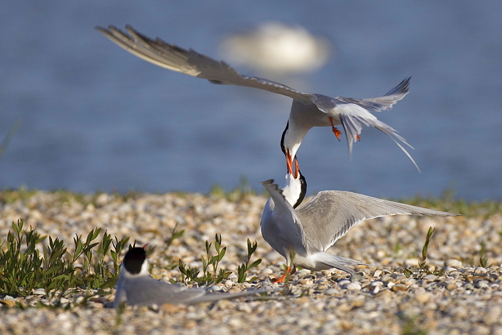 Common Terns, Texel, Netherlands / (Sterna hirundo)