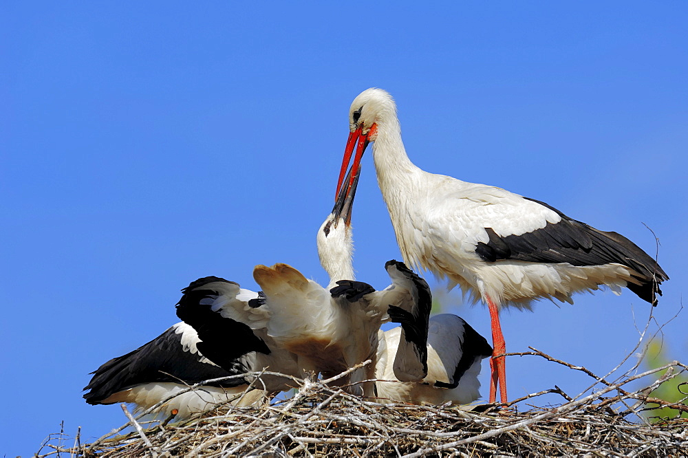 White Stork with youngs at nest / (Ciconia ciconia)
