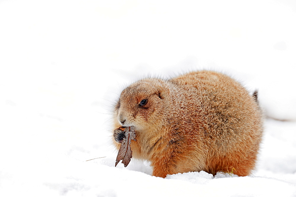 Black-tailed Prairie Dog in winter / (Cynomys ludovicianus)