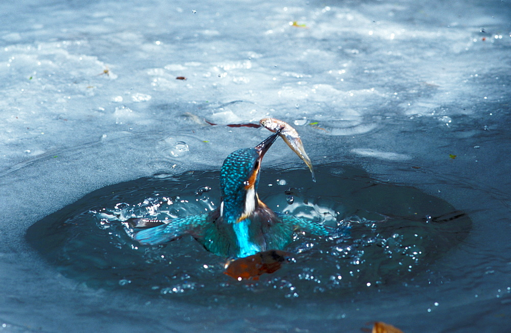 River Kingfisher with prey coming out of icehole, Hessen, Germany / (Alcedo atthis) - 1127-16541