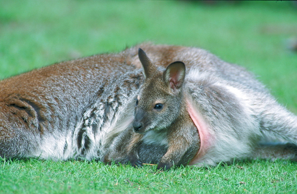 Red-necked Wallaby, Joey / (Macropus rufogriseus)