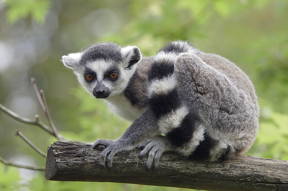 Young Ring-tailed Lemur / (Lemur catta) / side