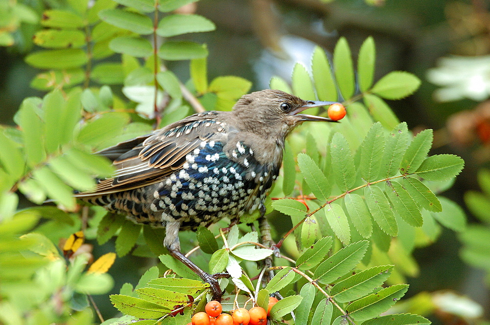 Common Starling, Hessen, Germany / (Sturnus vulgaris)