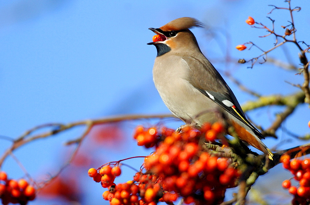 Bohemian Waxwing picking berries, Hessen, Germany / (Bombycilla garrulus)