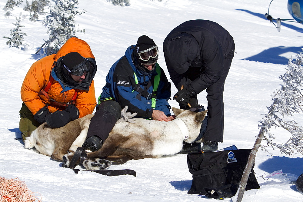 A team of Quebec's minister of natural ressources and wildlife fits caribou with satellite collar, for a conservation project, Rangifer tarandus, Caribou mountain ecotype, Gaspesie national park, Quebec. Canada