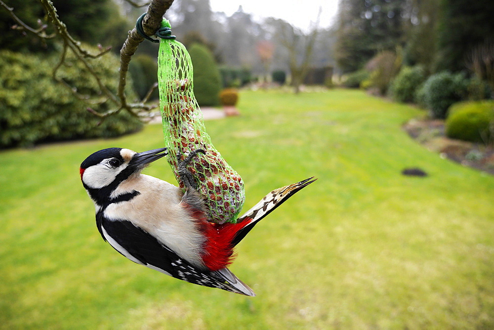 Great Spotted Woodpecker, male, at winter feeder, North Rhine-Westphalia, Germany / (Dendrocopos major)