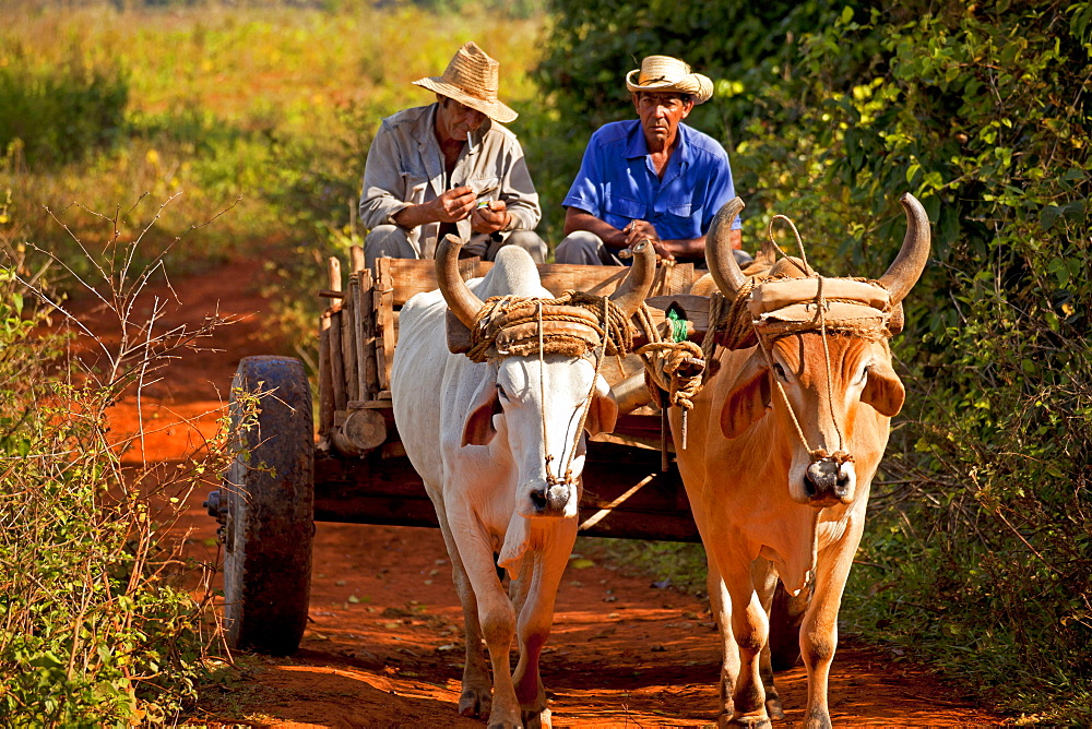 farmer with oxcart / ox-drawn carriage in the Vinales Valley, Vinales, Pinar del Rio, Cuba, Caribbean