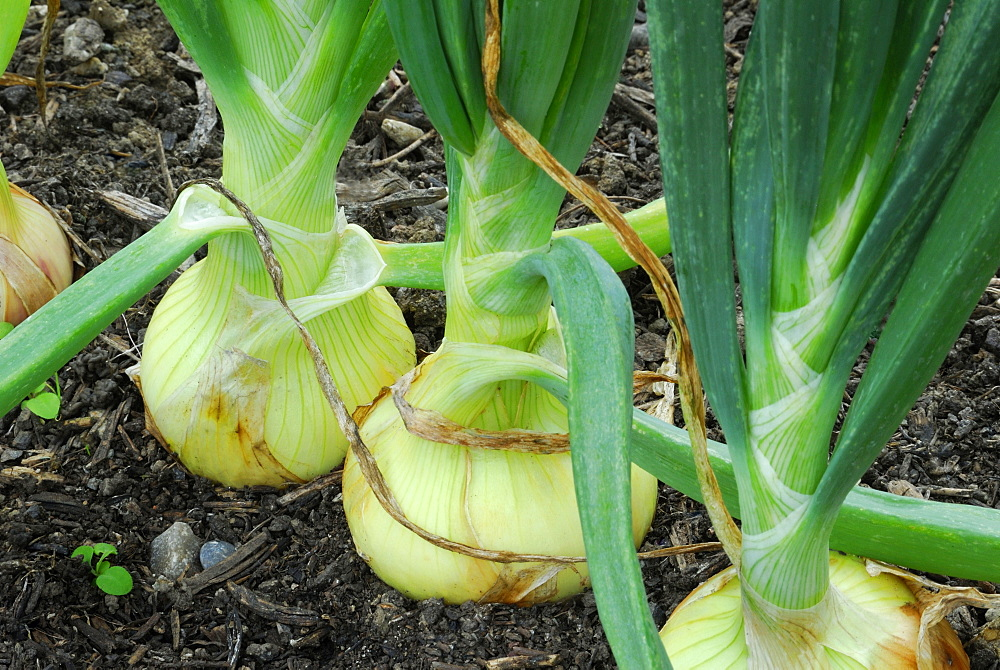 Onions, variety Befordshire Champion