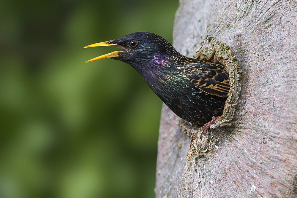 Common Starling / (Sturnus vulgaris) / Germany