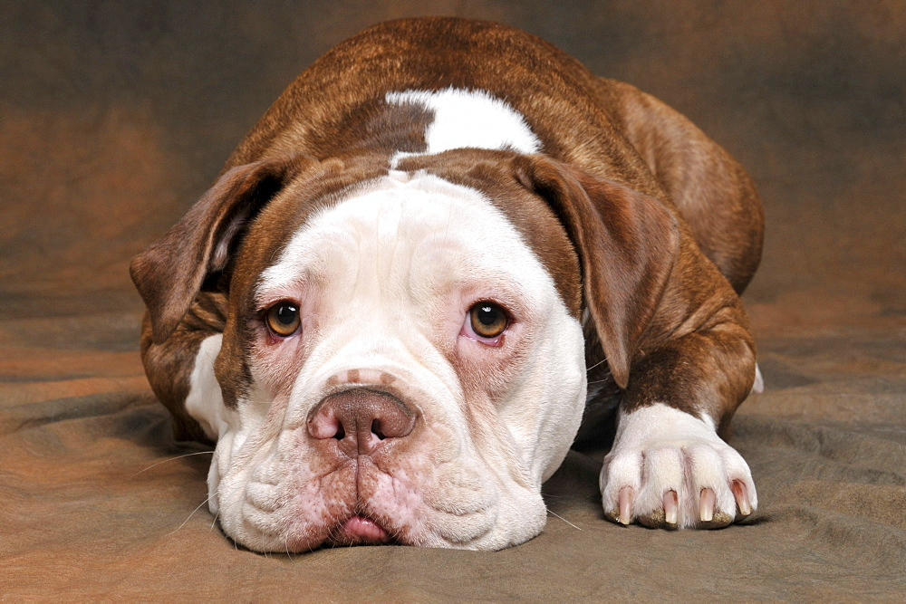 Old English Bulldog, bitch, 10 month - 1127-18949