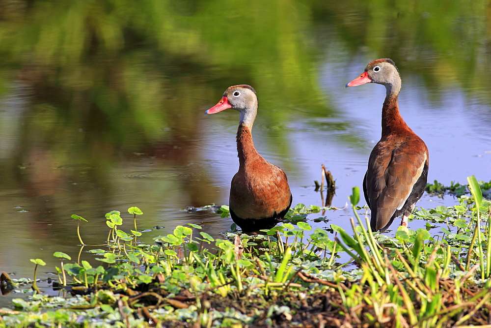 Black Bellied Whistling Duck, couple at water, Wakodahatchee Wetlands, Delray Beach, Florida, USA, North America / (Dendrocygna autumnalis)