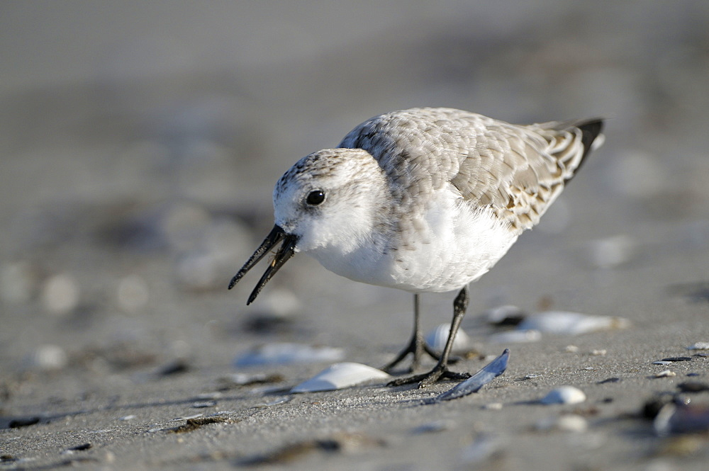 Sanderling, national park Vorpommersche Boddenlandschaft, Mecklenburg-Western Pommerania, Germany / (Calidris alba)