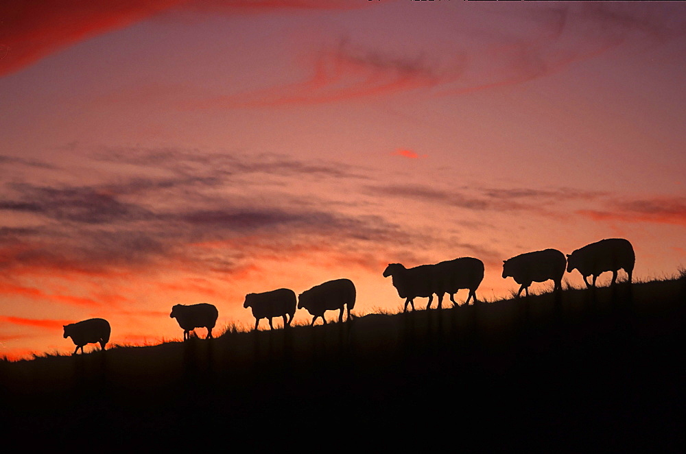 domestic sheep, flock of sheep on the dike, North Sea, North Frisia