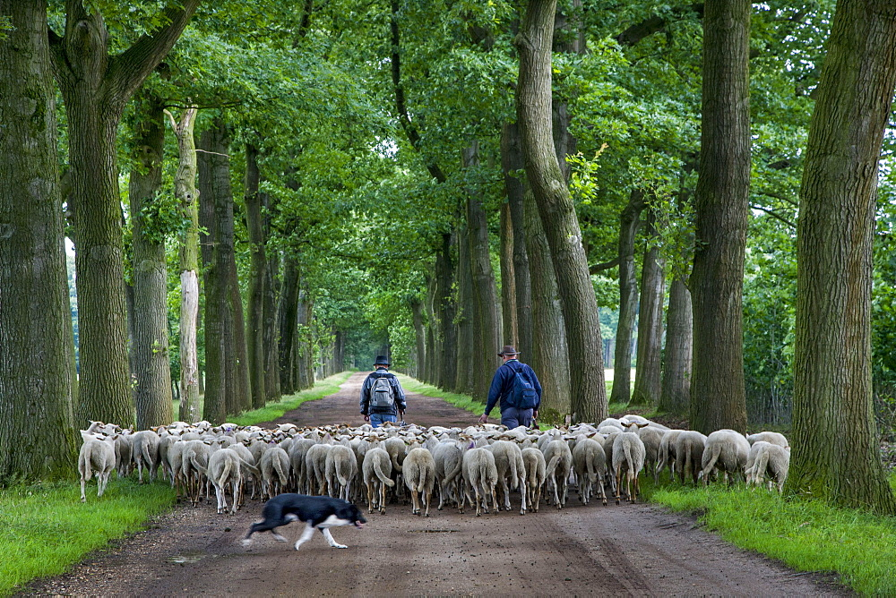 Border Collie herding flock of sheep, shepherd