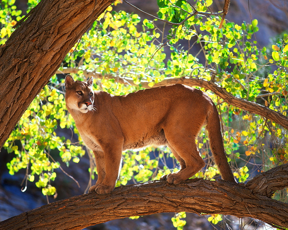 Cougar / (Felis concolor) / Puma, Mountain Lion, side