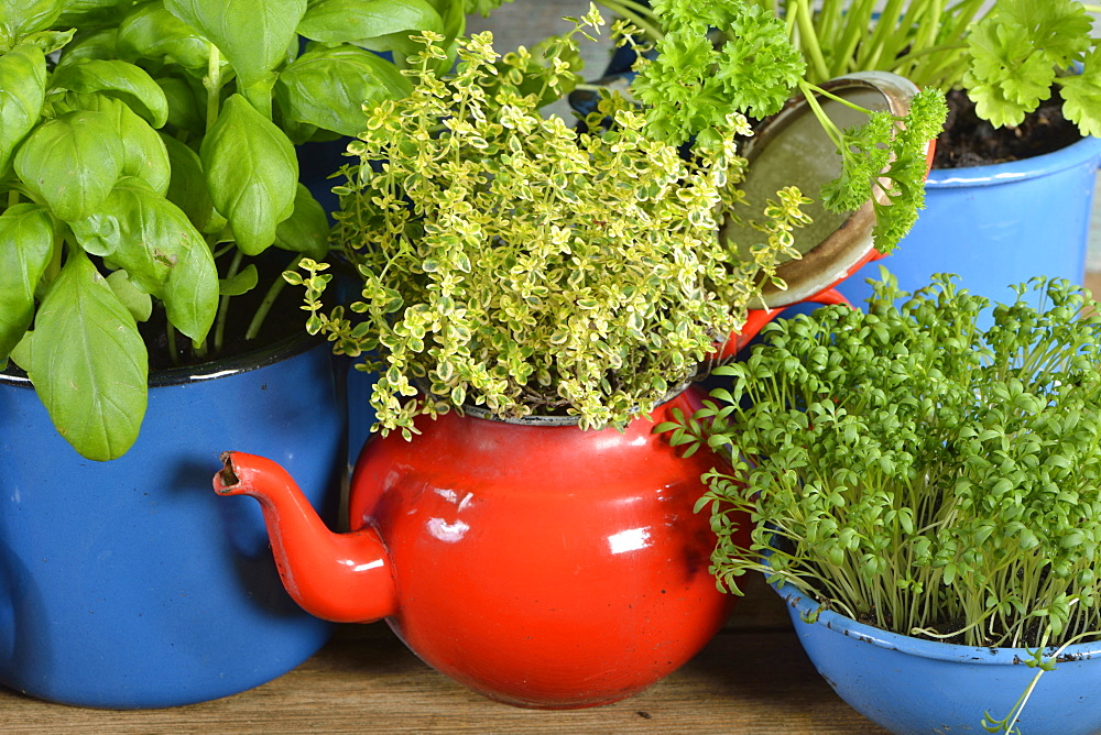 Different herbs in old bowls and cups, parsley, rosemary, basil, thyme, garden cress / (Lepidium sativum), (Thymus vulgaris), (Ocimum basilicum), (Petroselinum crispum)