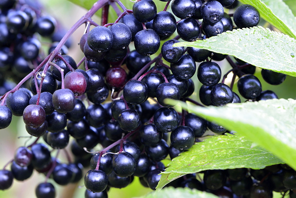 Elder berries / (Sambucus nigra) / Elder, Elderberry, Black Elder, European Elder