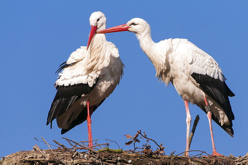 White Storks, pair, Lower Saxoyn, Germany / (Ciconia ciconia)
