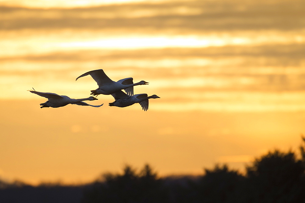 Whooper Swans, Lower Saxony, Germany / (Cygnus cygnus)