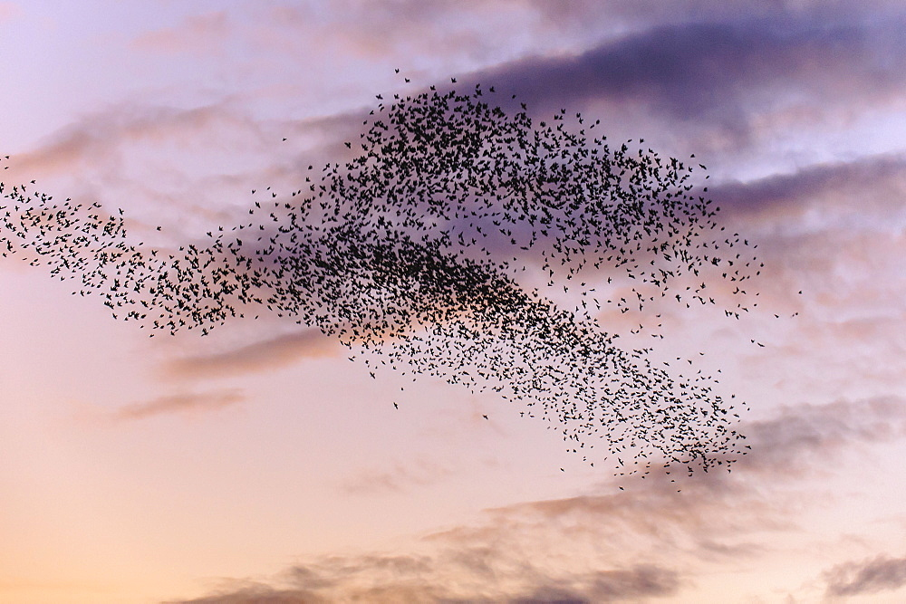 Common Starlings, Lower Saxony, Germany / (Sturnus vulgaris)