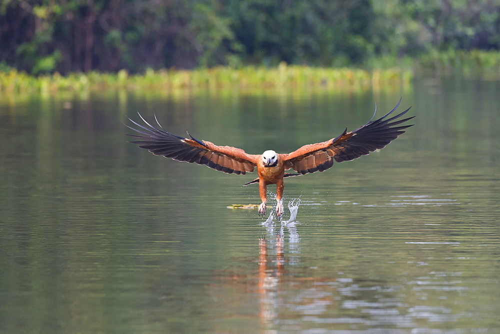 Black-collared Hawk (Busarellus nigricollis) fishing, Pantanal, Mato Grosso, Brazil - 1127-20245