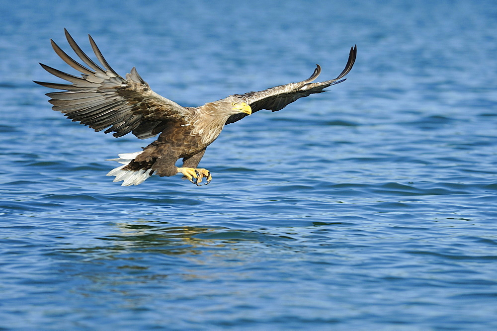 White tailed Eagle, Naturpark Feldberger Seenlandschaft , Brandenburg, Germany / (Haliaeetus albicilla)