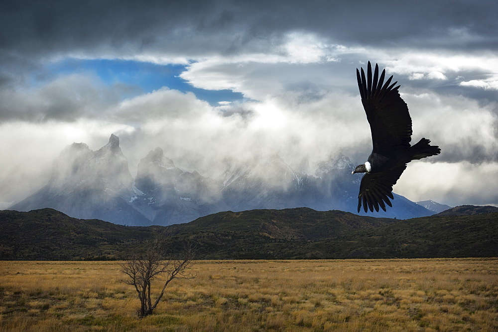 Flying Andean Condor, Torres del Paine National Park, Chilean Patagonia, Chile (Vultur gryphus)