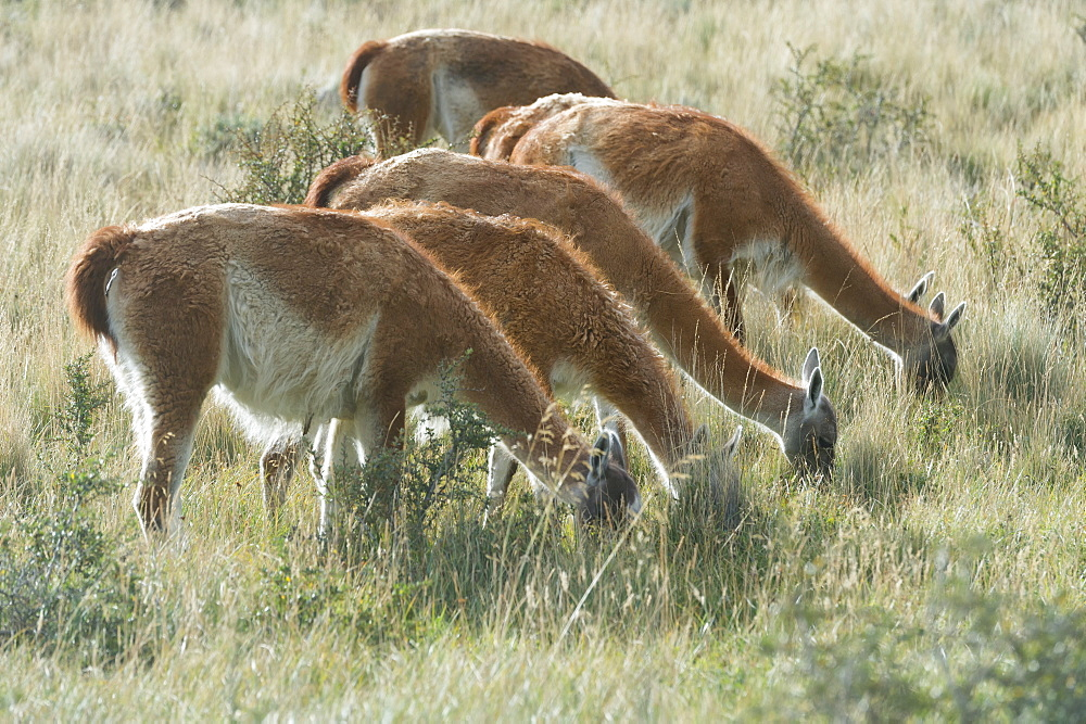 Line of Guanacos (Lama guanicoe) grazing in the steppe, Torres del Paine National Park, Chilean Patagonia, Chile - 1127-20276