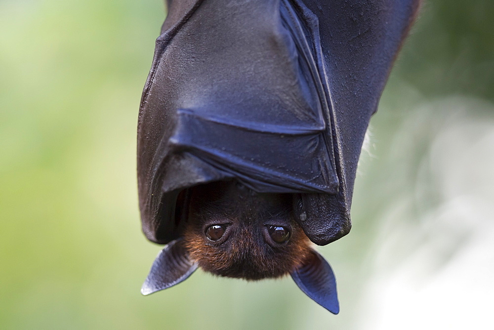 Indian Flying Fox, (Pteropus giganteus), captive