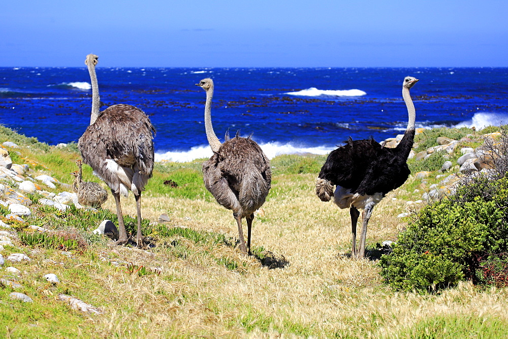 South African Ostrich, adult male and females, group, Cape of the Good Hope, Table Mountain Nationalpark, Western Cape, South Africa, Africa / (Struthio camelus australis)