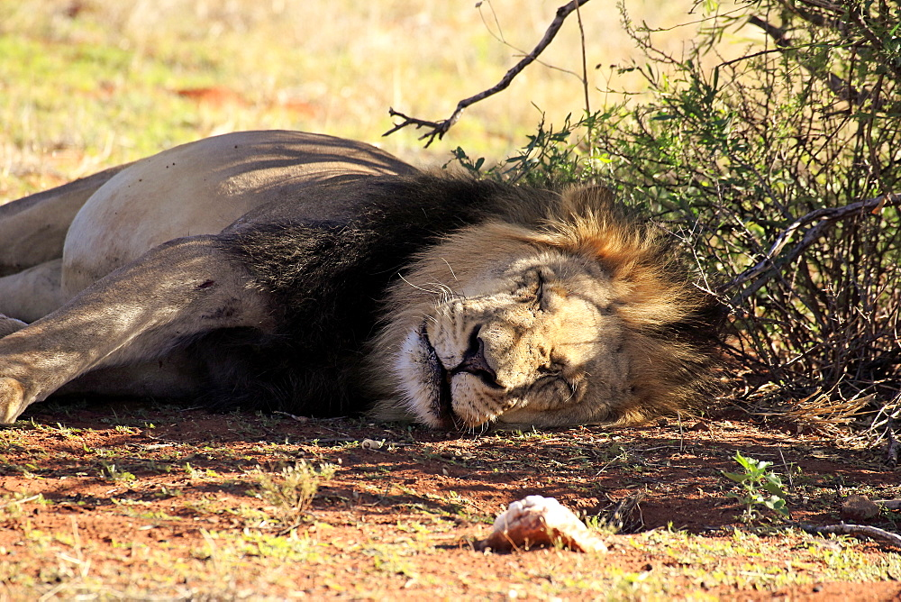 Lion, adult male sleeping resting, Tswalu Game Reserve, Kalahari, Northern Cape, South Africa, Africa / (Panthera leo)  - 1127-20293