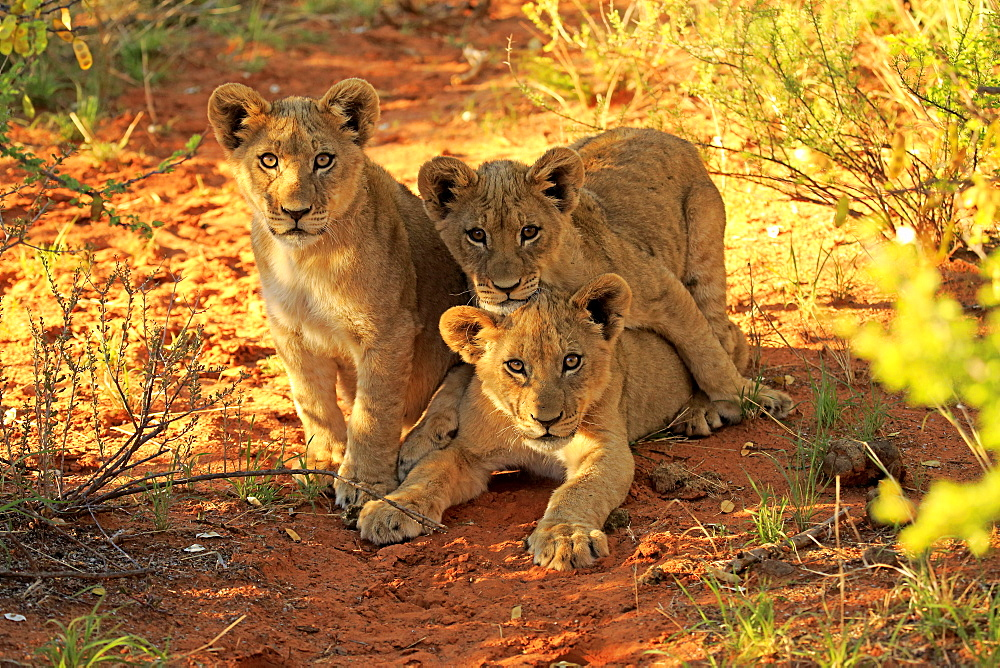 Lion, three youngs four month old curios, siblings, Tswalu Game Reserve, Kalahari, Northern Cape, South Africa, Africa / (Panthera leo)  - 1127-20295