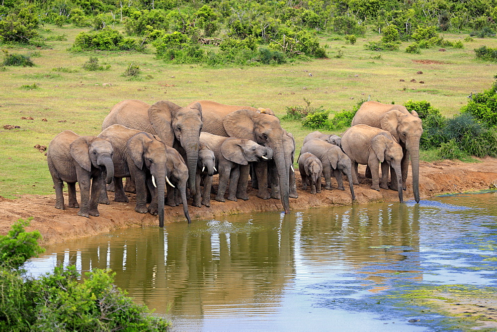 African Elephant, herd at waterhole, Addo Elephant Nationalpark, Eastern Cape, South Africa, Africa / (Loxodonta africana)