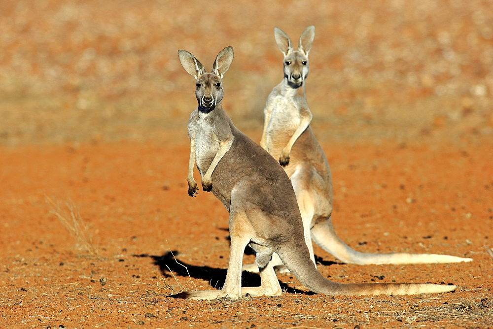 Red Kangaroo, two adult females alert, Sturt Nationalpark, New South Wales, Australia / (Macropus rufus)