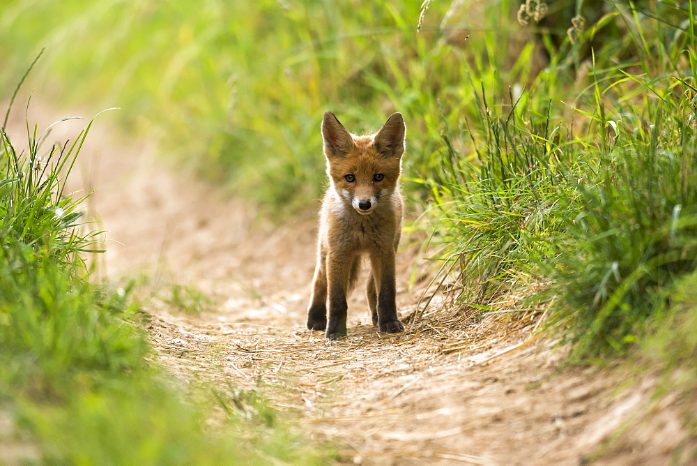 red fox, cub, (Vulpes vulpes) Germany