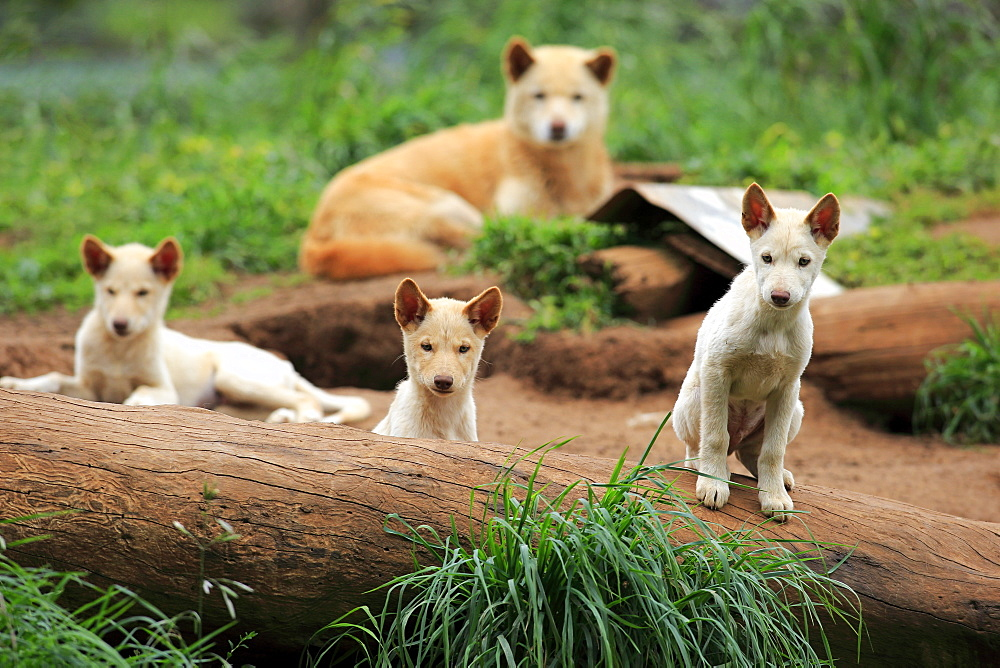 Dingo, female with youngs, Australia / (Canis familiaris dingo)