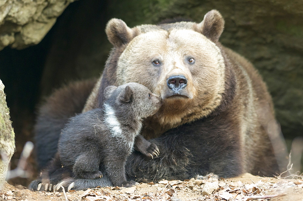 Brown Bears, female with cub (Ursus arctos)