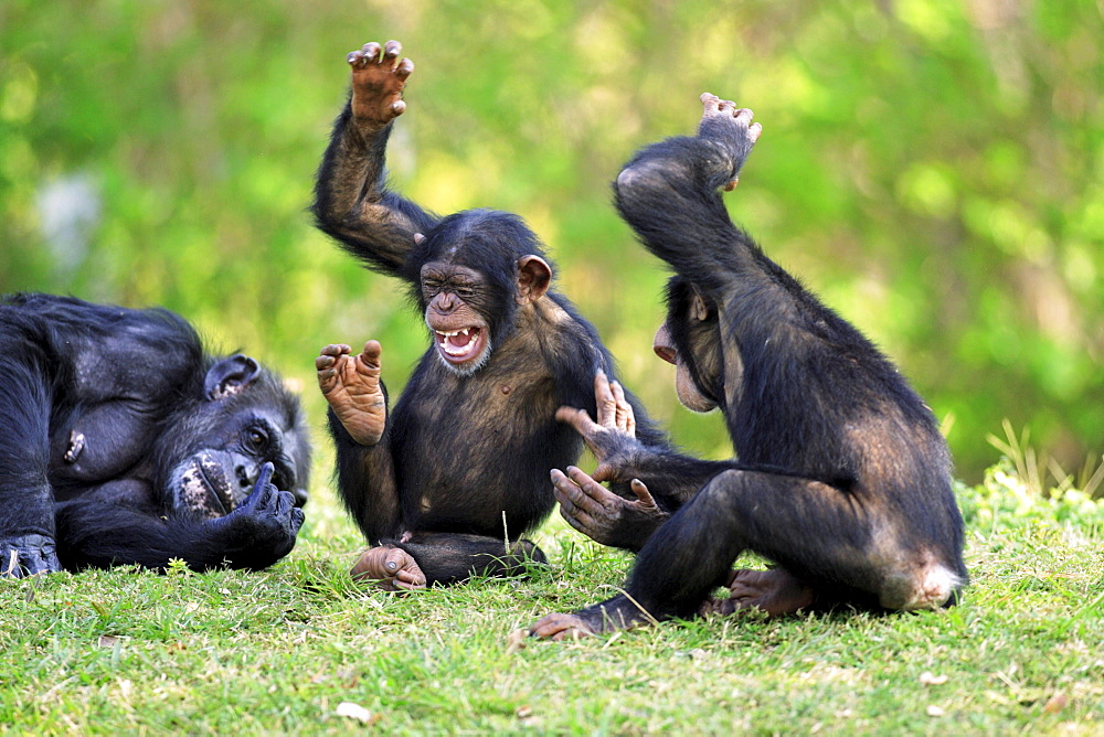 Chimpanzees, adult with young / (Pan troglodytes) / Chimpy  - 1127-2703