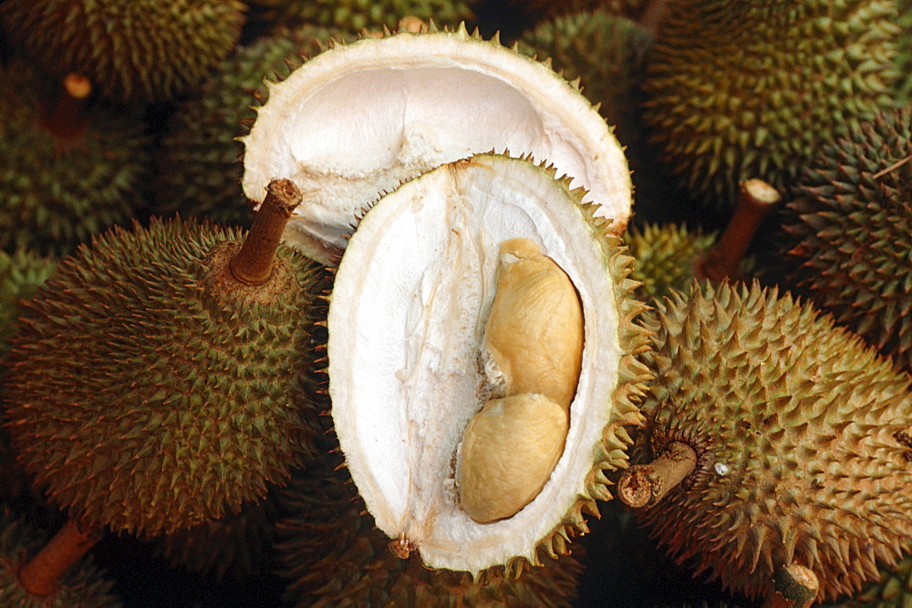 Durian fruits / (Durio zibethinus) / Bombacaceae