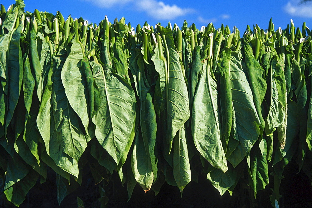 Tobacco leaves hanged up for drying, Vinales, Cuba / (Nicotinana sylvestris)